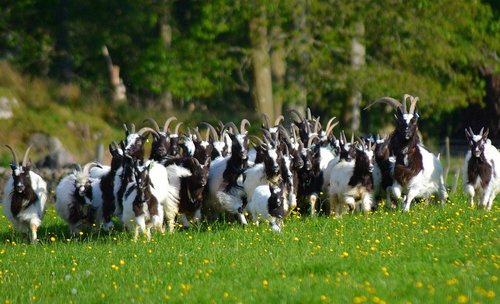 5. Sex and dietary differences of our goats ...
