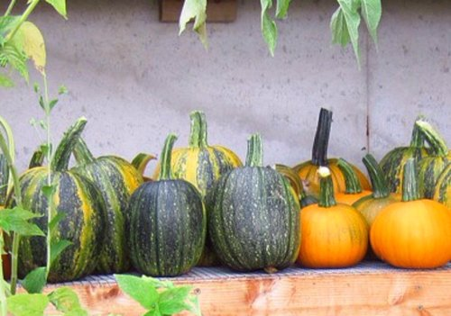 Pumpkins and butternut are very good to use