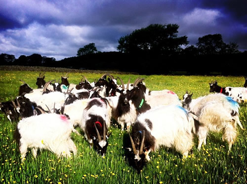 4. Social behaviour of our goats and its effects on foraging ...