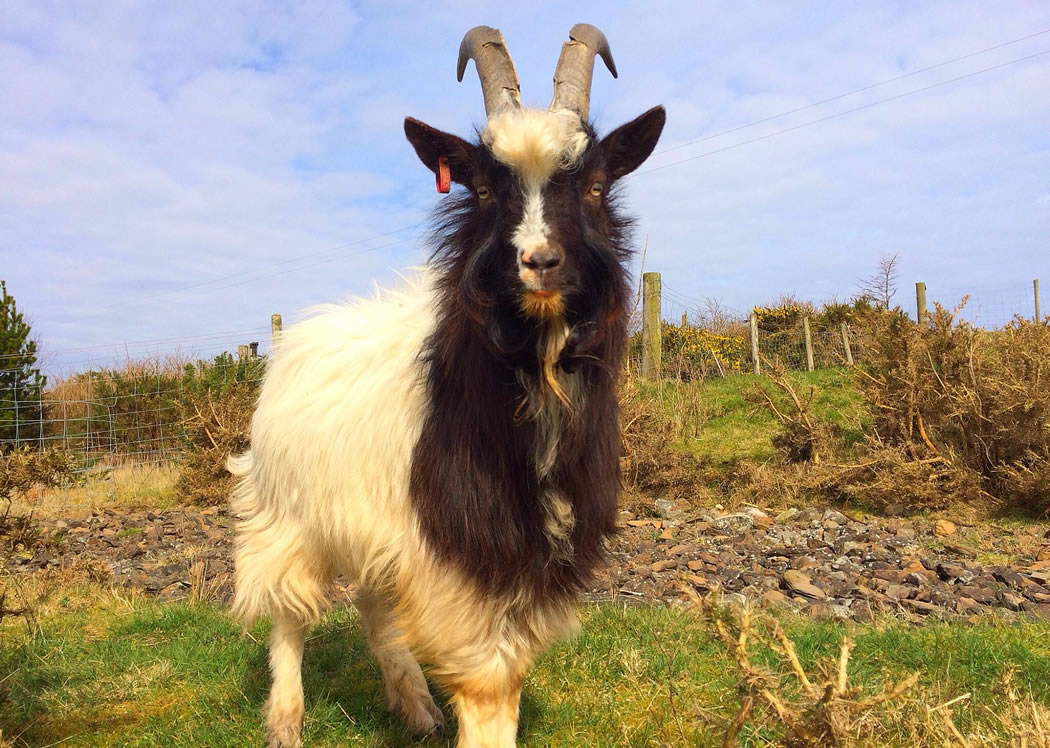 Bagot Goats | An Ancient Goat Breed | Rare Breed Goats