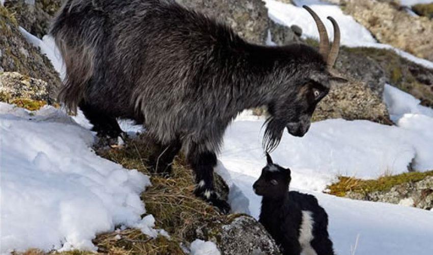 British Primitive Goats | Rare Breed Goats