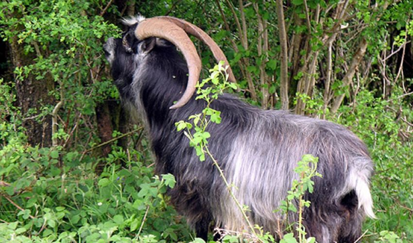 british-primitive-goats